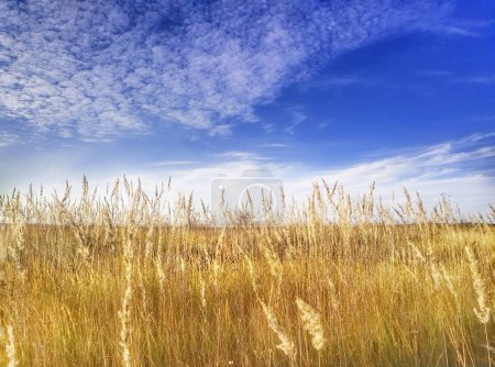 Photo for Wheat field and blue sky - Royalty Free Image