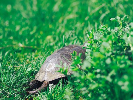 Turtle walking at the green grass