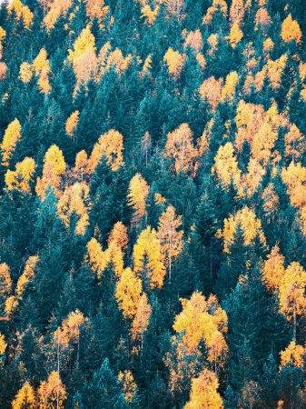 Photo for Autumn forest with pine trees at the mountains - Royalty Free Image
