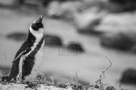Photo for African penguin standing in the sand in black and white, South Africa. - Royalty Free Image