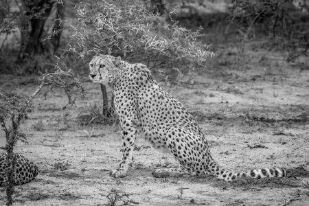 Photo pour Guépard assis dans le sable en noir et blanc dans le parc national Kruger, Afrique du Sud . - image libre de droit