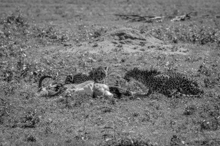 Photo pour Cheetahs se nourrissant d'un mâle Impala tue en noir et blanc dans la réserve de chasse Welgevonden, Afrique du Sud . - image libre de droit