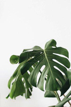 Photo pour Plante tropicale monstera en pot de fleurs sur fond blanc . - image libre de droit