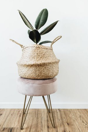 Photo for Home plant ficus elastica robusta in straw bag on stool on white background. Minimal modern interior design. - Royalty Free Image