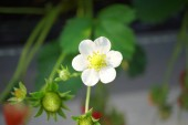 Shizuoka,Japan-December 20, 2018: Closeup of Strawberries and its flowers in December. Their variety name or breed name is Beni-Hoppe, which means rouged cheek in Japanese.