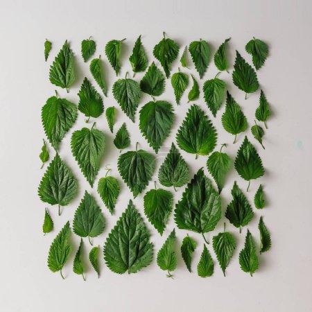 Photo pour Mise en page de feuilles d'ortie créative, concept de nature minimale - image libre de droit