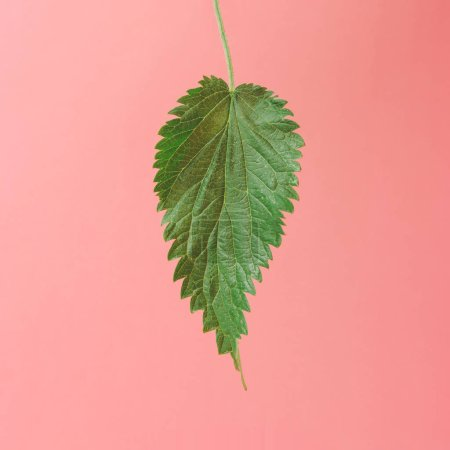 Photo for Green nettle leaf on bright pink pastel background, Minimal nature concept - Royalty Free Image