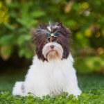 Dog puppy yorkshire terrier...