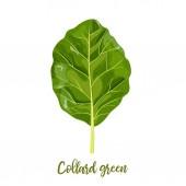 Collard greens leaves Collards Brassica oleracea Acephala Food concept Fresh juicy raw cabbage Healthy diet vegetaria