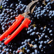 Blue grapes for winemaking. Grapes on branch in vi...