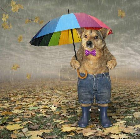 Photo pour Le chien en noeud papillon, short sain et bottes en caoutchouc bleu sous un parapluie de couleur est debout sur les feuilles tombées dans le parc d'automne. Il pleut. - image libre de droit