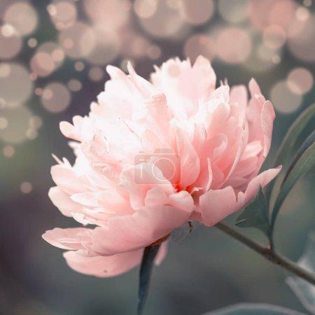 Foto de Soleada primavera o verano pálido paisaje azul con una flor rosa peonía, enfoque selectiva de imagen borrosa - Imagen libre de derechos