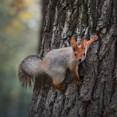 Photo pour Squirrel in the autumn park. Red gray squirrel portrait close up - image libre de droit
