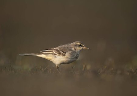The wagtail  in morning...