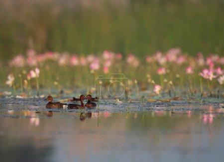 Ferruginous duck with lotus flowers...