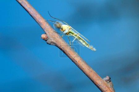 Mosquito - Summermücke (chironomus plumosus), Männchen, beißfreie Mücke