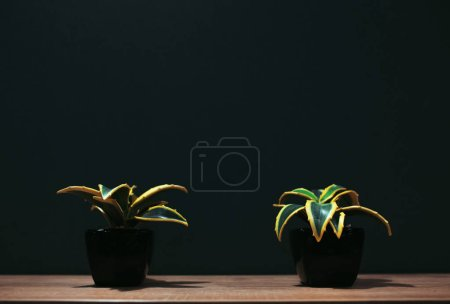 Photo for Two flower pots with succulents on wooden table and dark background. - Royalty Free Image