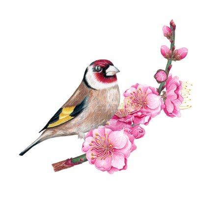Photo pour Chardonneret perché sur la branche de sakura sur fond blanc . - image libre de droit