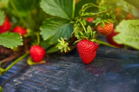 Industrial growth of fresh strawberries grown in f...
