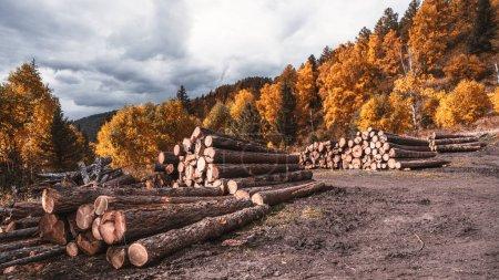 Photo pour Une photo grand angle de l'exploitation du bois pour plusieurs utilisations sur une forêt en automne; plusieurs tas de troncs d'arbres fraîchement coupés au milieu des bois au cours de l'automne sous un ciel majoritairement nuageux - image libre de droit