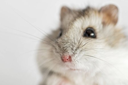 Photo pour Hamster face Close-up sur un fond léger. Hamster syrien mignon sur le fond blanc - image libre de droit