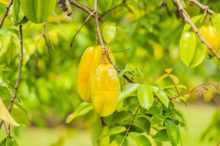 Starfruits on Tree carambola. Fruta estrella carambola.