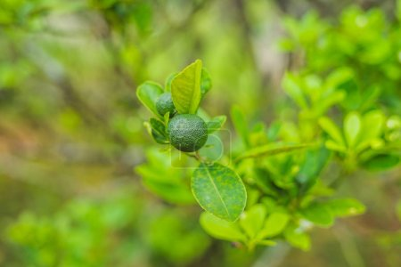 Green limes on a tree. Lime is a hybrid citrus fruit, which is typically round, about 3-6 centimeters in diameter and containing acidic juice vesicles. Limes are excellent source of vitamin C.