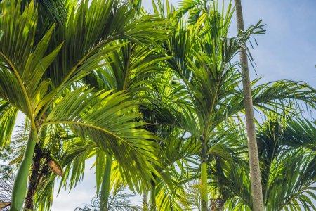 Palm trees against blue sky, Palm trees at tropical coast.