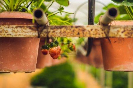 Closeup of fresh organic strawberries in pots growing on farm