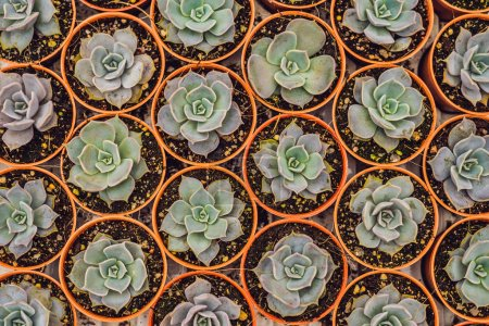 perennial green succulents in flower pots