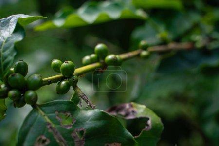 Photo pour Grains de café vert sur l'arbre. - image libre de droit