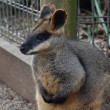 Yellow-footed Rock-wallabies are with brown and ye...