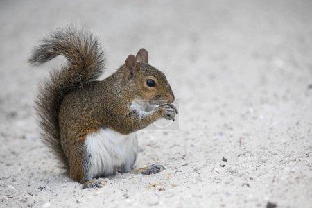 Photo pour Un écureuil gris debout sur un sable blanc mangeant des biscuits. Espace de copie - image libre de droit