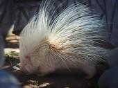 white hedgehog albino in zoo