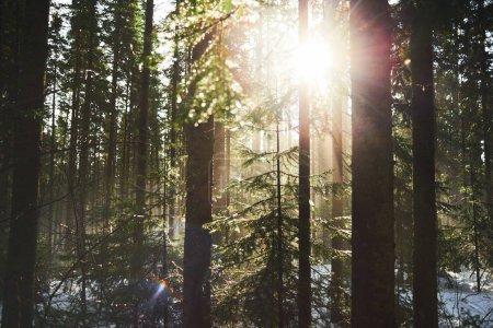 Photo pour Vue de paysage magnifique de la forêt de conifères à la journée ensoleillée de printemps - image libre de droit