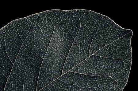 Photo pour Abstract black and white leaf texture for background on black isolated background - image libre de droit