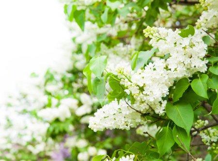 Foto de Impresionante vista natural de flores de color lilas brillante en jardín soleado de primavera con hojas verdes como fondo - Imagen libre de derechos