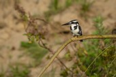 Pied Kingfisher or Ceryle rudis Sitting on Branch