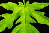 Close up photos of papaya leaves are green. Use as background image.