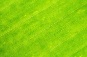 Close-up photograph of fresh banana leaves. Use as background image.