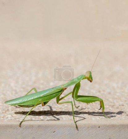 Green mantid, mantidae on beige color wall backgro...