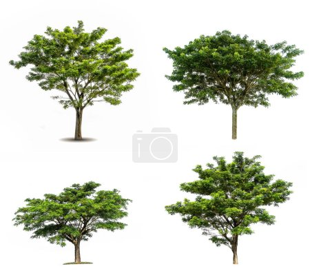 Photo for Collection of various Tree isolated on white background high resolution for graphic decoration - Royalty Free Image