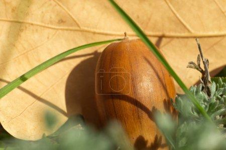 Photo pour Gros gland chêne automne sur l'herbe. Photo macro de nature automne. - image libre de droit