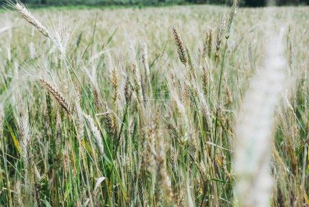 Photo pour La culture du seigle, Secale cereale, sur le champ - image libre de droit