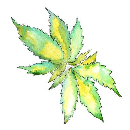Watercolor cannabis green leaf. Leaf plant botanical garden floral foliage. Isolated illustration element.  Aquarelle leaf for background, texture, wrapper pattern, frame or border.