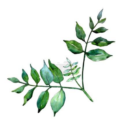 Photo pour Feuilles de frêne vert. Feuillage floral de jardin botanique de plante de feuille. Élément d'illustration isolé. Feuille Aquarelle pour fond, texture, motif d'emballage, cadre ou bordure . - image libre de droit