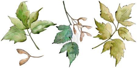 Green maple leaves. Leaf plant botanical garden floral foliage. Isolated illustration element. Aquarelle leaf for background, texture, wrapper pattern, frame or border.