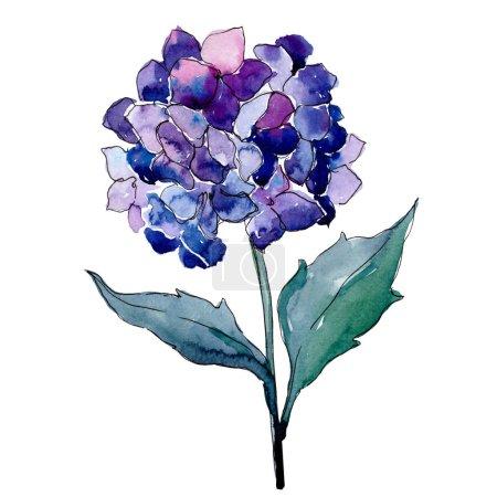 Photo pour Hortensia pourpre bleue fleur botanique florale. Feuille sauvage de printemps fleur sauvage isolée. Ensemble d'illustration de fond aquarelle. Aquarelle dessin mode aquarelle. Elément d'illustration de fleurs isolées . - image libre de droit