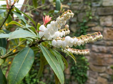 Pieris  japonica or andromeda or fetterbush Ericaceae family plant. White flowers and brightly coloured young leaves.