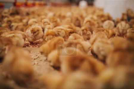 Photo pour Petits poussins jaunes dans la ferme de poulet. Concentration sélective. Profondeur de champ courte. Faible lumière . - image libre de droit